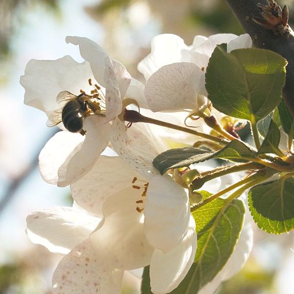 Apfelblüte 2020 | Wittrock Obstplantagen